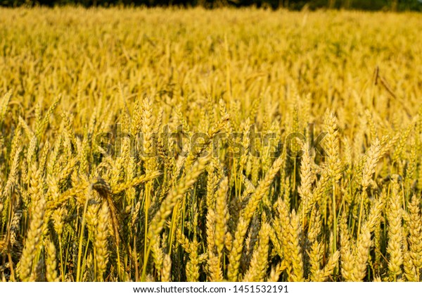 A field of yellow wheat ears