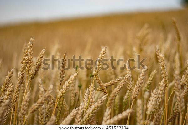 A field of yellow wheat ears