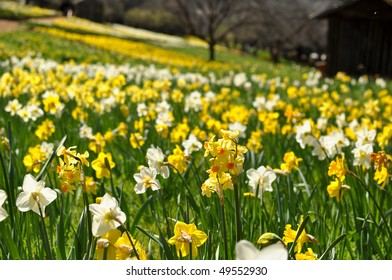 Field of Yellow and White Daffodils with Cabin in Background
