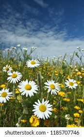 Field with yellow and white daisy flowers in Denmark