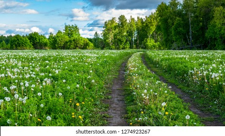 field of yellow and white dandelions on the background of the forest. Forest road along the blooming field with blowballs. medicinal plant Taraxacum officinale