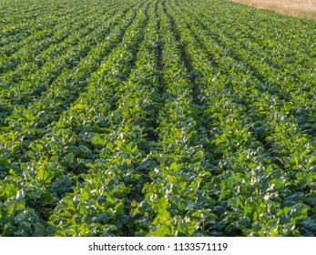 Field of young beet during the sunset