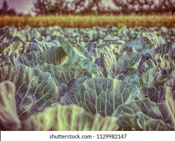 Field of young cabbage during the sunrise