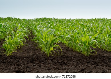 field of young green corn plants