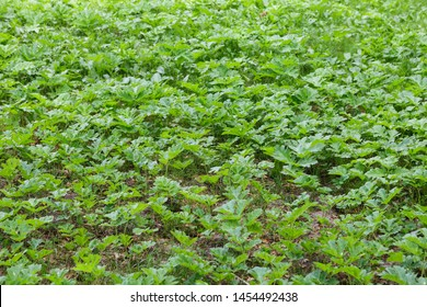 Field of young green giant hoghweed. This dangerous invasive plants can cause serious skin burns, even death in extreme cases.