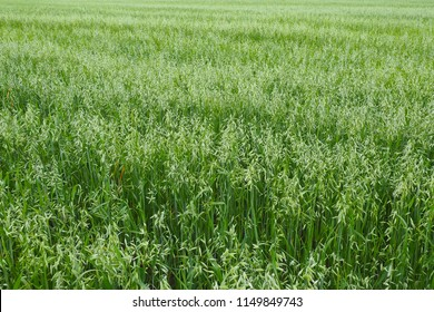 Field of young green Oats. Plantation of oats in the field - crop agricultural industry.