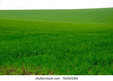 Field of young green wheat