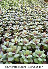 Field of young plant of Celosia argentea var.cristata(L.)Kuntze, Celosia cristata L.family Amaranthaceae.select focus views.
