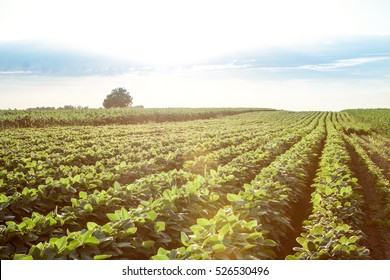 Field of young soybean plants background