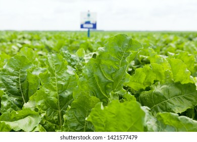 Field of young sugar beet plant