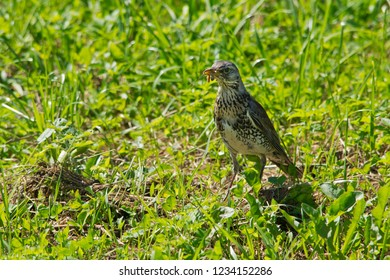 Fieldfare eating earthworms. In the grass. Czech Republic.