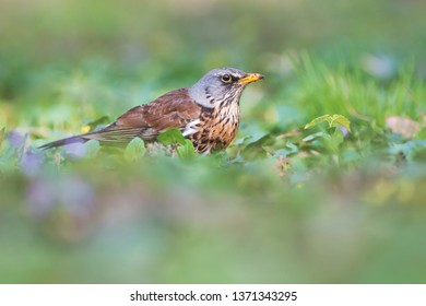 Fieldfare on spring meadow. Turdus pilaris