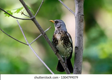 Fieldfare sitting on branch of bush. Cute common brown thrush. Bird in wildlife.