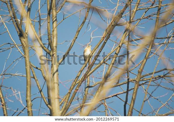 fieldfare-snowbird-lat-turdus-pilaris-60