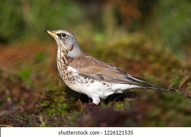 Fieldfare stands on the edge of the pond, the Netherlands