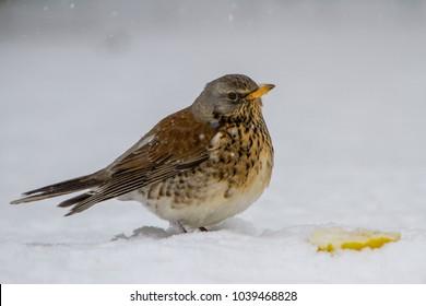 Fieldfare (Turdis pilaris) feeding in snowy conditions in the UK
