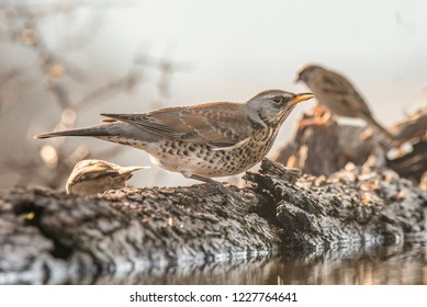 Fieldfare (Turdus pilaris), Nature and wild bird image