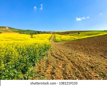 Fields of Andalusia in Spain on a sunny day. Field of oilseed rape (Brassica napus) in Antequera. Malaga, Spain.