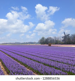 Fields of blooming blue and purple hyacinths in Lisse, Netherlands. It's known for the Keukenhof garden, which has millions of spring-flowering bulbs. Magic Dutch spring  flowers blossom