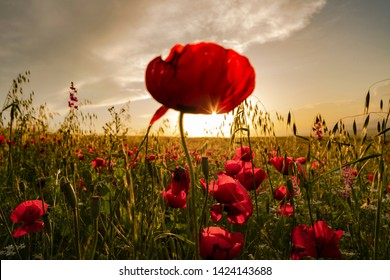 Fields of blooming poppy. Fields and hills are covered with a carpet of wild flowers. Summer 2019, Eastern Georgia, near the town of Gori. Sunset.
