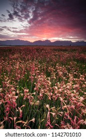 Fields of bright pink Watsonia flowers in the Western Cape of South Africa