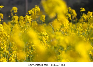 Fields of bright yellow mustard flowers in full bloom early in spring in Napa Valley, California