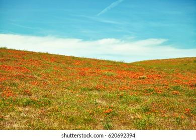 Fields of California Poppy during peak blooming time, Antelope Valley California Poppy Reserve.