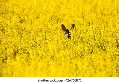 Fields with canola yellow flowers and a roe deer.
