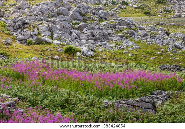 Fields of Chamerion Angustifolium (known as Fireweed) in the mountains of Montenegro