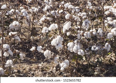 Fields and cotton plant in cultivation, in southern Spain in Andalusia a lot of cotton is prepared to harvest in early autumn lighting with flash or natural