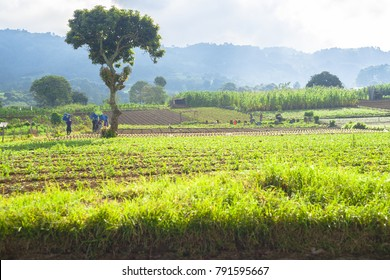 Fields of cultivation in rural area of Guatemala,(occident)