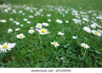 Fields of daisies with blurred backgrounds