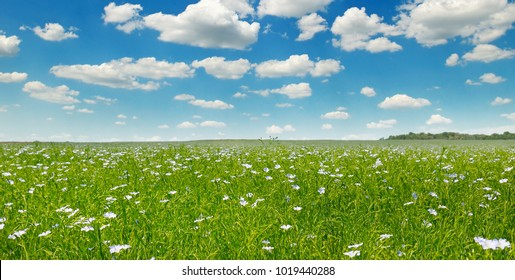 Fields with flowering flax and blue sky. Wide photo. Spring agricultural landscape.