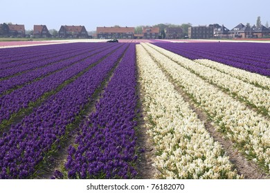 Fields with flowers in Holland