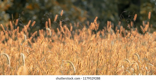 Fields of fox tail plants glowing golden in the sun Kentucky nature photography