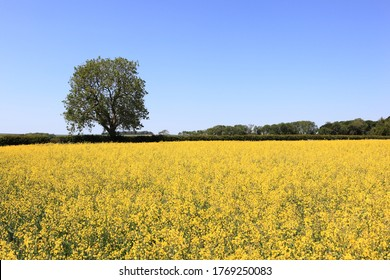 Fields of golden flowered rapeseed or canola in an English landscape in summertime