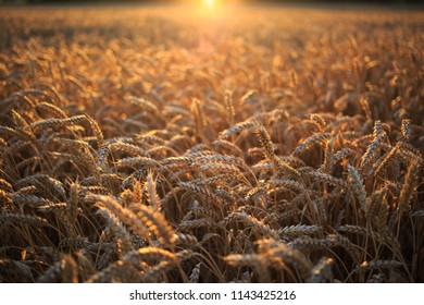 fields with grain wheat and rye during sunset