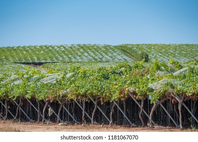 Fields of grapes in hanging vine with special table grape without inner seed