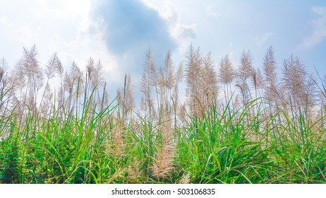 Fields of grass Feather pennisetum,(Mission grass flower plant) on garden with blue sky in Daytime.