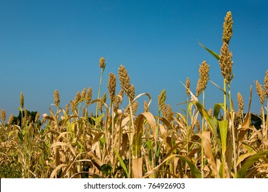 Fields of Juar,jowar ,Millet Sorghum  crop ready for harvesting Maharashtra, India