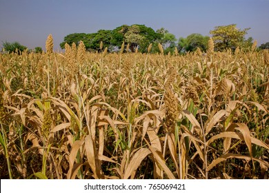 Fields of Juar,jowar,Millet Sorghum  crop ready for harvesting Maharashtra, India