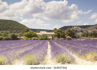 Fields of lavender near to Banon in Provence