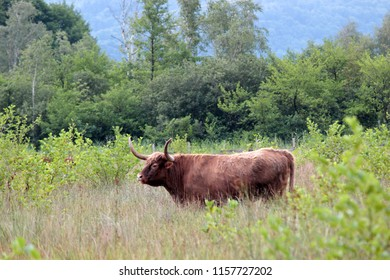 in the fields of a marsh, a red cow of salers or highland type
