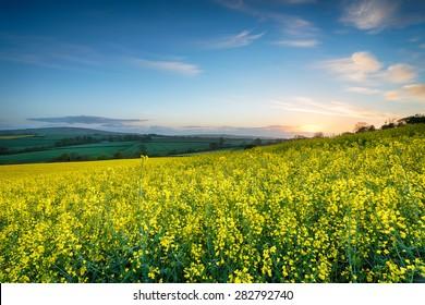 Fields of mustard seed rape growing near callington in Cornwall