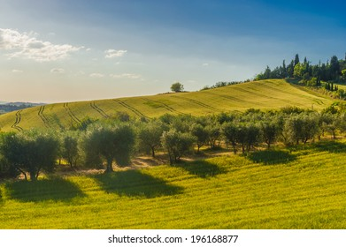 Fields and olive trees, Tuscany, Italy