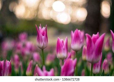Fields on which bloom pink and purple tulips. Tulip field. Field with pink and purple tulips.