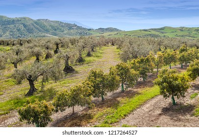 Fields of orange trees in Andalusia