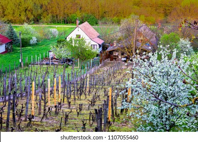Fields of private vineyards, farmhause, garden with blossoming cherry trees in spring landscape of hungarian country side. Heviz, Hungary