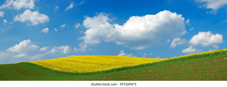 Fields of Rapeseed blossoming in Rolling Hills under Blue Sky with Clouds