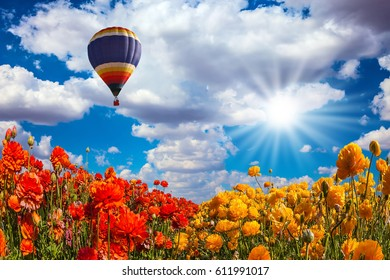 The fields of red and yellow garden buttercups. The sun and huge multi-color balloon over the flower field. Concept of rural and extreme tourism
